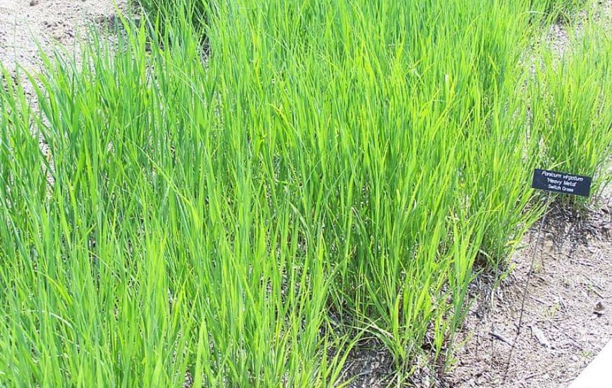 What If I Don't Cut Back Ornamental Grass?