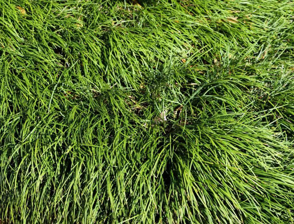 How Do You Rejuvenate Ornamental Grass