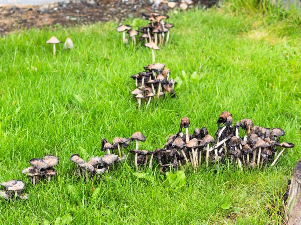Mushrooms in a backyard