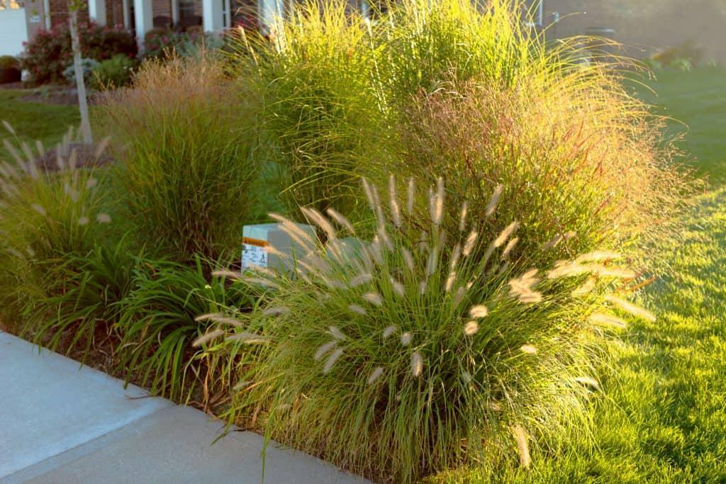 Ornamental grass in a yard hiding a power box